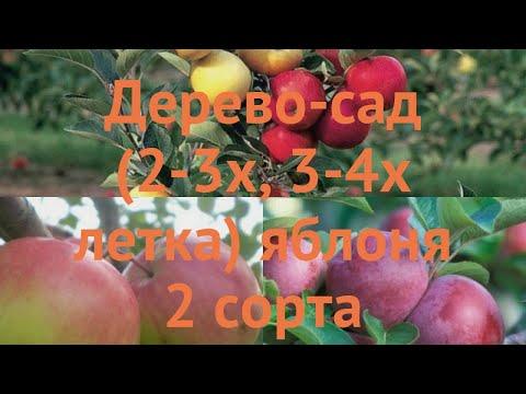Яблоня обыкновенная Богатырь - Спартан 🌿 обзор: как сажать, саженцы яблони Богатырь - Спартан