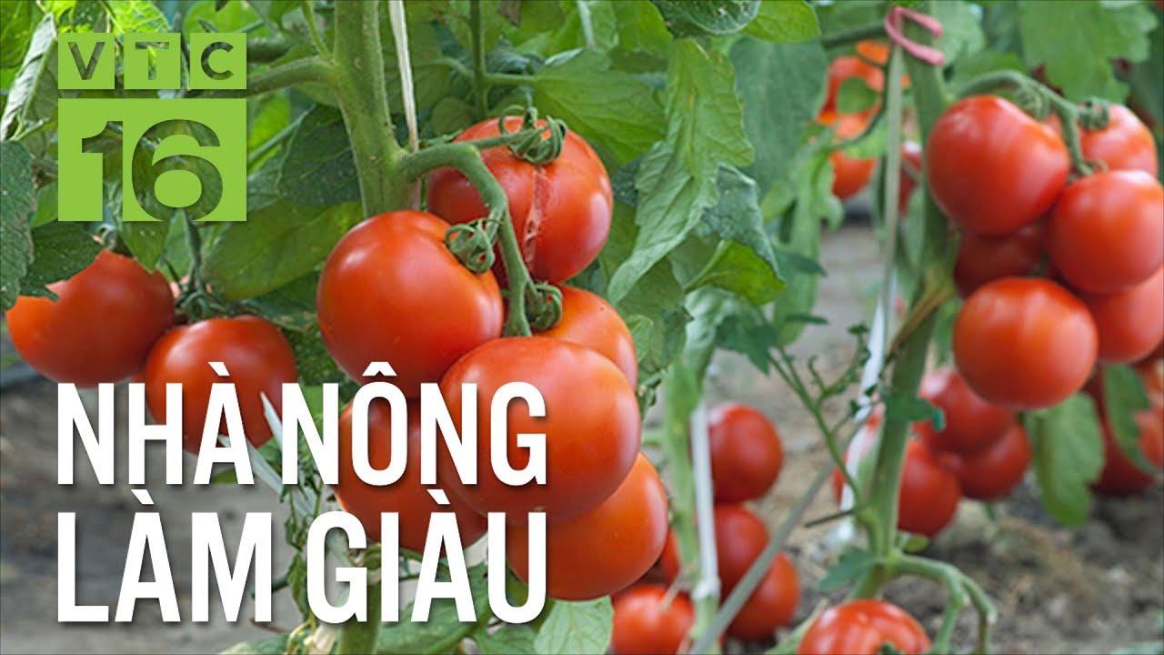 Lãi lớn với giống cà chua mới cho 5 tấn quả/sào | VTC16