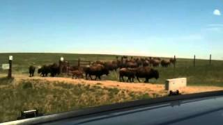 Bison herd @ Rocky Mountain Arsenal Wildlife Refuge