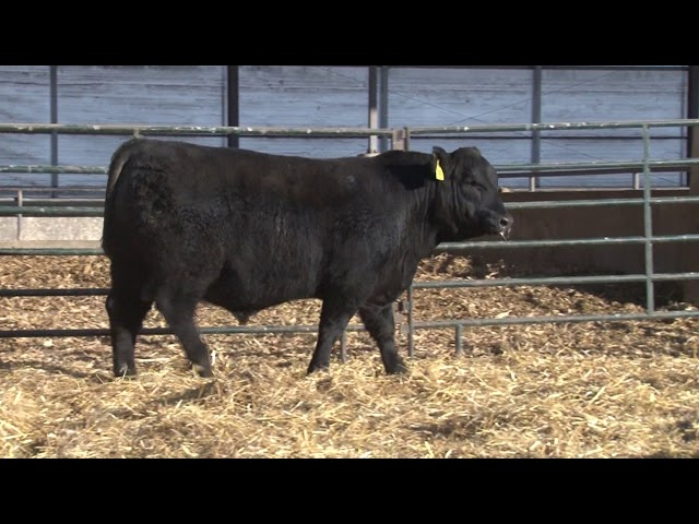 Schiefelbein Angus Farms Lot 194