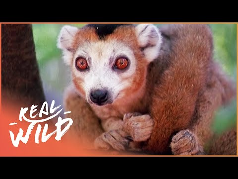 Crowned Lemurs And The Crocodile Caves!| Real Wild