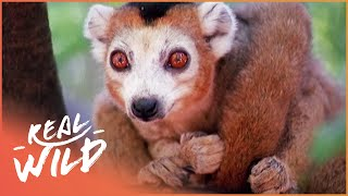 Crowned Lemurs And The Crocodile Caves [Survival Documentary] | Wild Things thumbnail