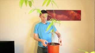 How to germinate and grow giant bamboo from seed