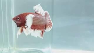 Betta Fish Dumbo Red part 2