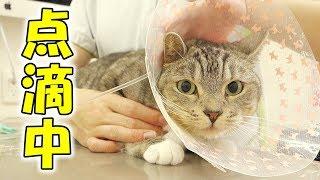 猫の動物病院での点滴の様子と帰宅後の様子 / cat is put on drip at veterinary hospital thumbnail