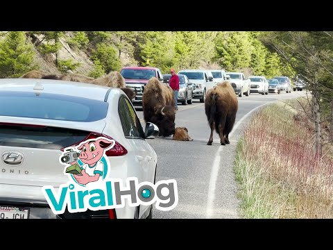 Tired Baby Bison Calf Stops Traffic in Yellowstone    ViralHog