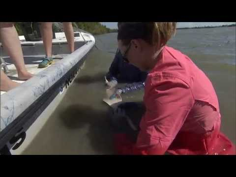 Protecting The Smalltooth Sawfish