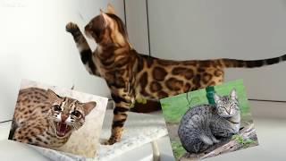 Самые дорогие кошки в мире