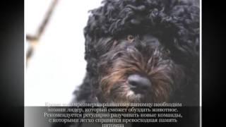 Португальская водяная собака Крупные породы собак 2