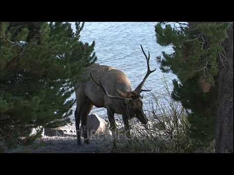 Elk Near Yellowstone Lake, In Yellowstone National Park