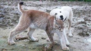 прогулка рыси с собаками умка охотится на маню