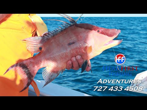 Offshore Tampa Bottom Fishing Charter For Hogfish, Grouper, And Snapper.