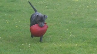 Staffordshire Bull Terrier Charming Chester At A & B Dogs Boarding & Training Kennels.