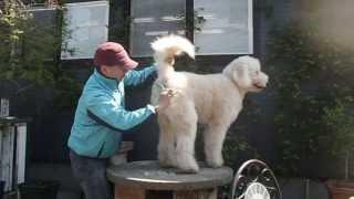 ゴールデンドゥードル犬JACKのグルーミング風景です カットサロンに行く...