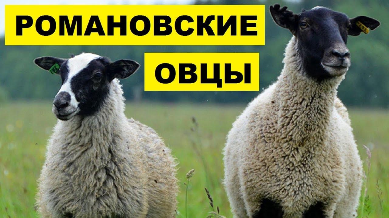 Разведение романовских овец как бизнес идея