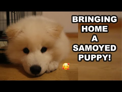 GETTING A NEW SAMOYED PUPPY :  8 weeks old Samoyed puppy first day home
