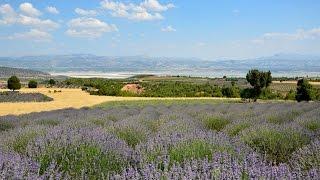 Лавандовые поля в Турции (Lavender fields in Turkey)