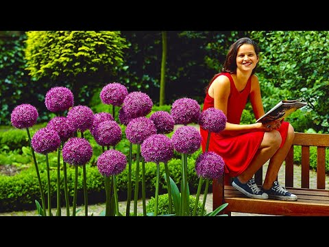 How To Plant Allium Globemaster Jeff Turner Plants Giant Bulbs In The Border You
