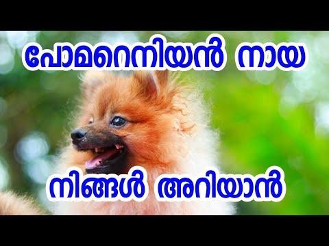 Pomeranian dog breed information [ECO OWN MEDIA] Malayalam 2018