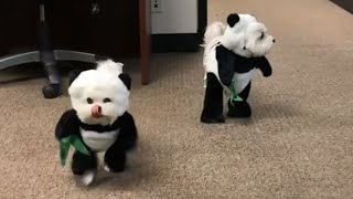 Adorable Dogs Dressed In Panda Costumes