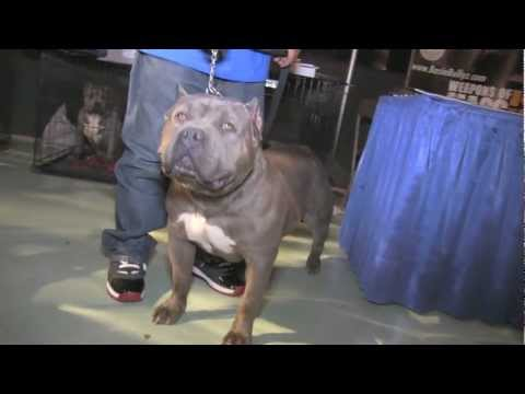 Bully Dog Show In Houston