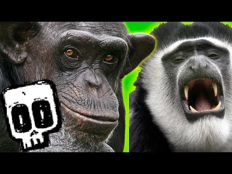 Chimp vs Colobus - Deadliest Showdowns - Earth Unplugged