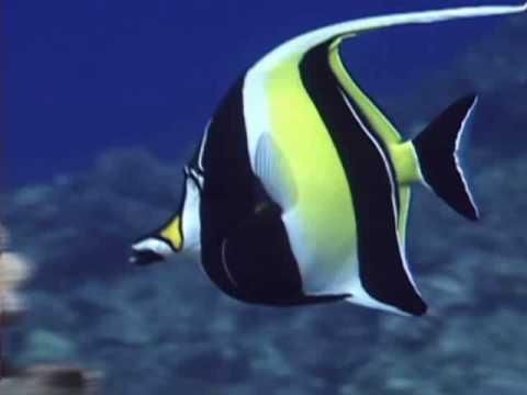 Moorish idol youtube for Moorish idol fish