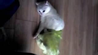Котококон.Замотали кота в пищевую пленку