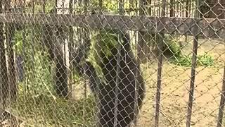 В Пензенском зоопарке медведи активно готовятся к зиме