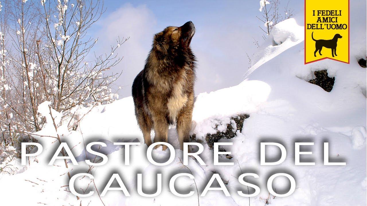 Pastore Del Caucaso E Mittelasiatico Trailer Documentario Youtube