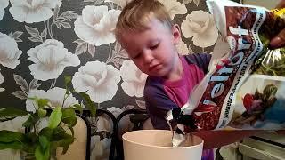 Сажаем фикус в горшок. Plant the ficus in a pot.