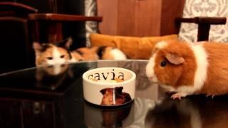 Cat, Dog and Cavy / Кот, пес и морская свинка