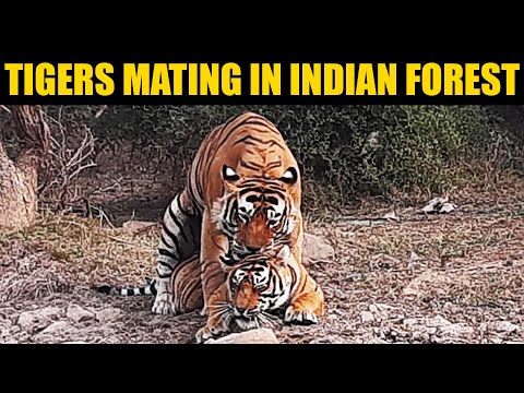 Tiger And Tigress Roaring And Mating In Ranthambore Forest INDIA