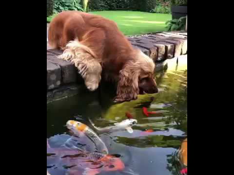 Cocker Spaniel 'Kisses' Fish As He Drinks From Dutch Pond