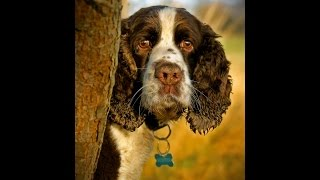 Springer Spaniel Photo Shoot