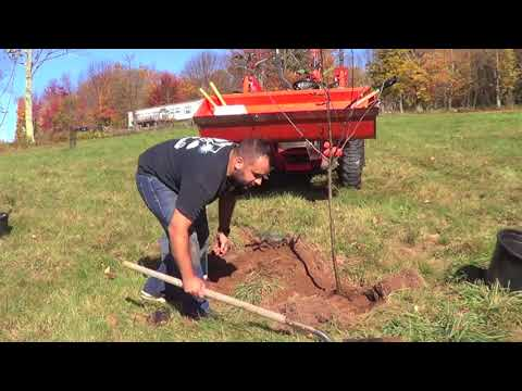 OCT 21, 2017 PLANTING A RED DELICIOUS APPLE TREE