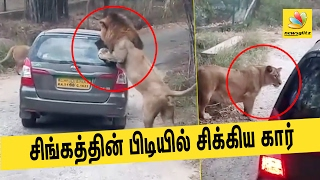 Two lions attacked a tourist vehicle