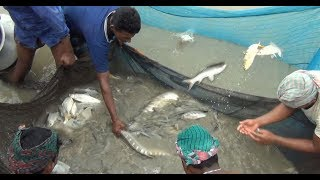 Amazing Net fishing on Village Pond || Best Net Fishing