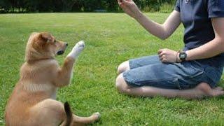 Обучение Щенка. Кликкер. 14 урок (жесты)