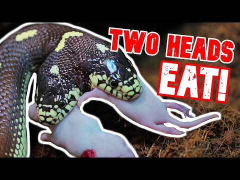BOTH HEADS EAT!! TWO HEAD SNAKE RARE FEEDING FOOTAGE!!   BRIAN BARCZYK