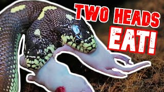 BOTH HEADS EAT!! TWO HEAD SNAKE RARE FEEDING FOOTAGE!! | BRIAN BARCZYK