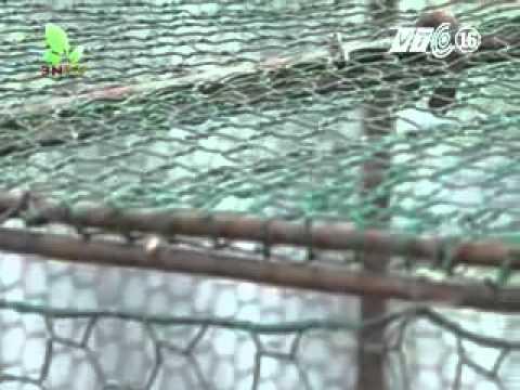 Hướng nghiệp nhà nông VTC16 kỹ thuật nuôi gà đông tảo,ông bà hùng thuỷ 0321.3915.911 ,01699.709.861