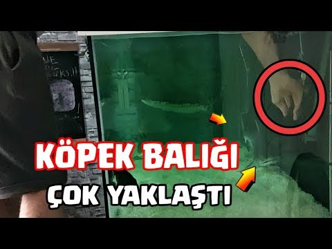 KÖPEK BALIĞI AKVARYUMUNA ELİMİ SOKTUM !!! - Clash Royale