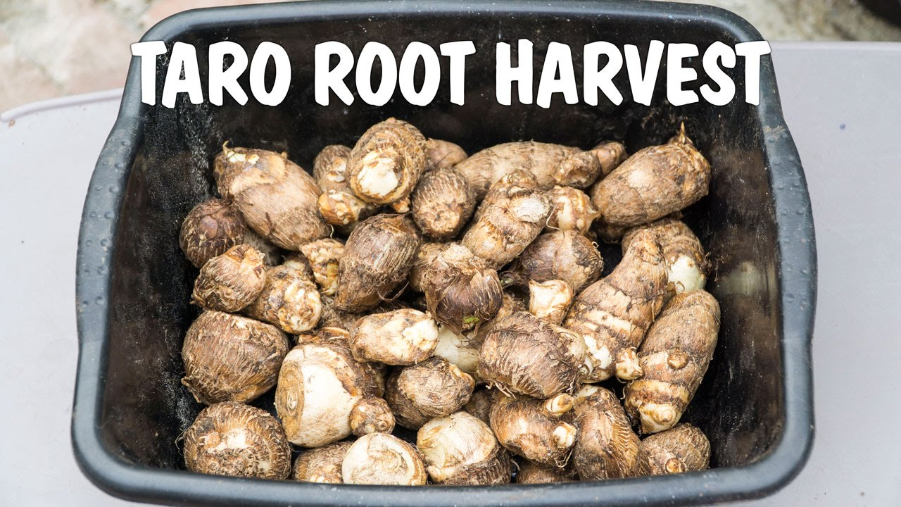 Growing Taro Root Harvest From Containers Raised Beds Youtube