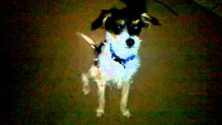 Yorkie, Rat Terrier, Spaniel Mix *jack And Timmy*