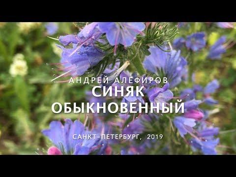Синяк обыкновенный. Алефиров А.Н.
