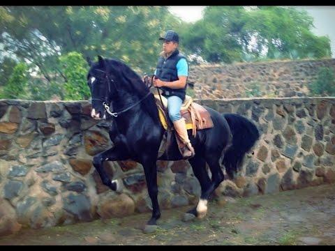 Caballo negro espa ol bailador con doma youtube for Sillas para caballos