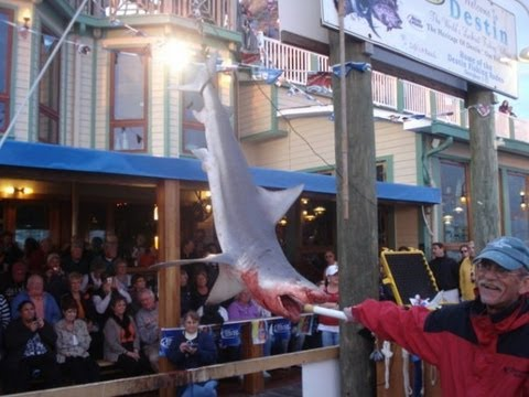 Big Bull Shark Destin Deep Sea Offshore Fishing Rodeo Shark Saturday winning shark
