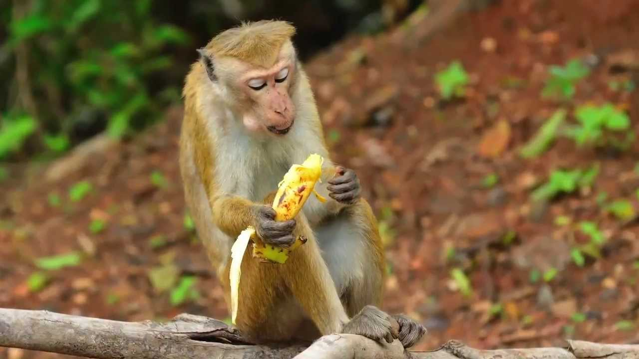 Monkeys Banned From Eating Unhealthy Bananas At Zoo -4523