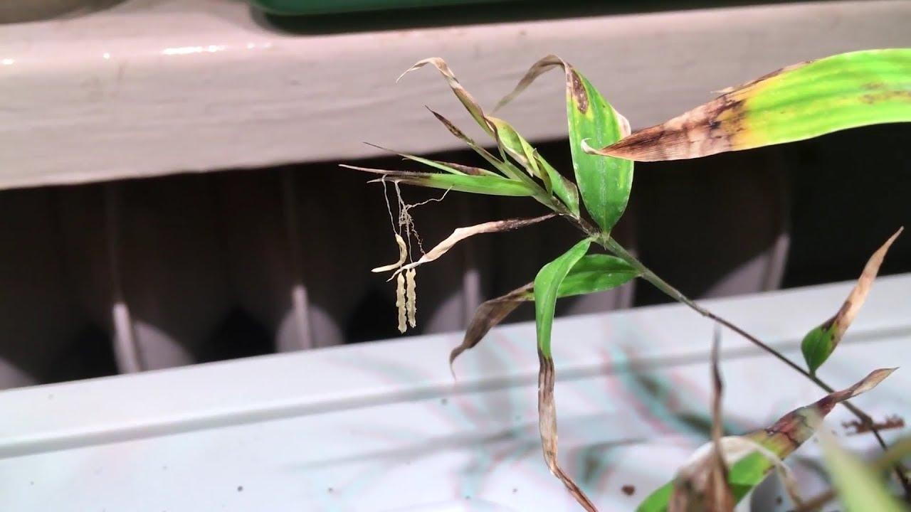 Aufzucht Phyllostachys Edulis Moso Blute Lebensbedrohlich Bambus